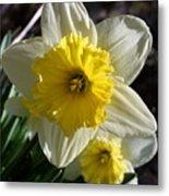 Daffodil Days Metal Print
