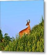 Deer Buck. Metal Print