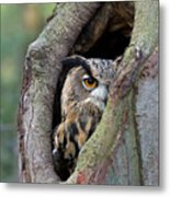 Eurasian Eagle-owl Bubo Bubo Looking Metal Print