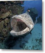 Giant Grouper, Great Barrier Reef Metal Print