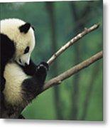 Giant Panda Ailuropoda Melanoleuca Year Metal Print
