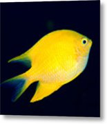 Golden Damselfish Metal Print