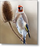 Goldfinch On Teasle Metal Print