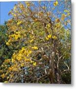 Jerusalem Thorn Tree Metal Print