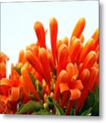 Orange Honeysuckle Metal Print