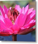 Pink Water Lilly Metal Print