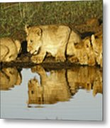 Reflected Lions Metal Print