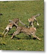 Ring Around The Cheetahs Metal Print