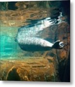 Sea Lion Reflection Metal Print