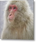 Snow-dusted Monkey Metal Print