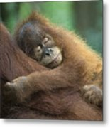 Sumatran Orangutan Pongo Abelii Two Metal Print