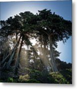 Sunbeams From Large Pine Or Fir Trees On Coast Of San Francisco  Metal Print