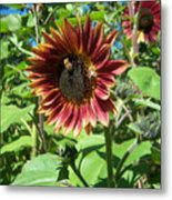 Sunflower 133 Metal Print