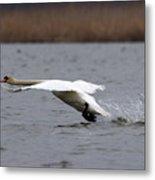 Swan During Take Off Metal Print