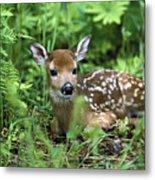 White-tailed Deer Odocoileus Metal Print