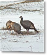 Wild Turkey - Meleagris Gallopavo Metal Print