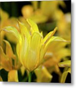 Yellow Tulips Metal Print