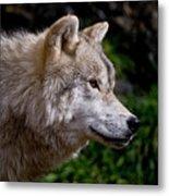 Arctic Wolf Portrait Metal Print by Michael Cummings