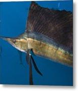 Atlantic Sailfish Istiophorus Albicans Metal Print