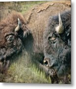 Bisons Metal Print