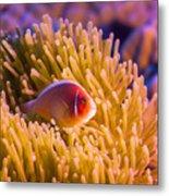 Tropical Fish Pink Clownfish Metal Print