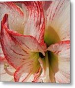 Amaryllidaceae Hippeastrum Amorice Metal Print