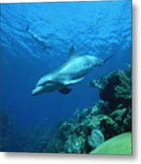 Bottlenose Dolphin Tursiops Truncatus Metal Print
