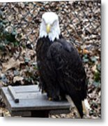 A Bald Eagle Metal Print