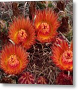 A Barrel Cactus Is Blooming Metal Print