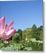 A Beautiful Emperor Lotus Blooms Metal Print