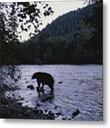 A Black Bear Searches For Sockeye Metal Print