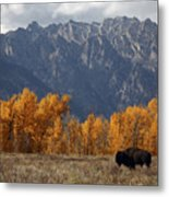 A Buffalo Grazing In Grand Teton Metal Print