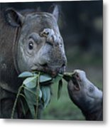 A Captive Sumatran Rhinoceros Metal Print by Joel Sartore