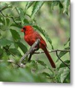 A Cardinal Day Metal Print