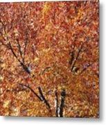 A Claret Ash Tree In Its Autumn Colors Metal Print