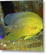A Dusky Damselfish Offshore From Panama Metal Print by Michael Wood