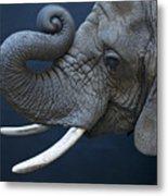 A Female African Elephant, Loxodonta Metal Print