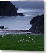 A Flock Of Sheep Graze On Seaweed Metal Print