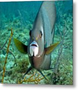 A Gray Angelfish In The Shallow Waters Metal Print by Michael Wood