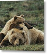 A Grizzly Bear Cub Stretches Metal Print