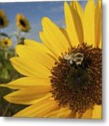 A Honey Bee Visiting A Sunflower Metal Print
