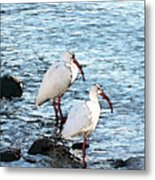 A Pair Of White Isbis Standing In The Shore Metal Print