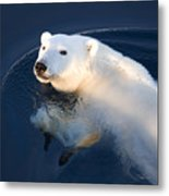 A Polar Bear Glance Metal Print