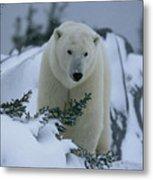 A Polar Bear In A Snowy, Twilit Metal Print