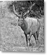 A Rack Of Antlers - Roosevelt Elk - Olympic National Park Wa Metal Print