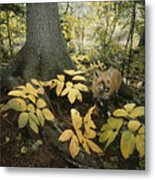 A Red Fox On Isle Royale In Lake Metal Print
