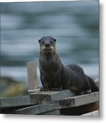 A River Otter Perched On Planks Of Wood Metal Print