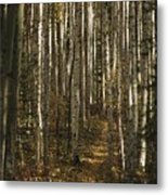 A Stand Of Birch Trees Show Metal Print