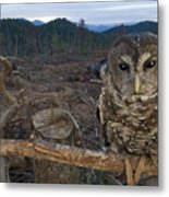 A Threatened Northern Spotted Owl Metal Print