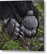 A Tranquilized Brown Bear Metal Print by Melissa Farlow